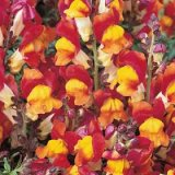 Antirrhinum majus nanum Rembrandt Photo