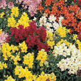 Antirrhinum maximum T&M en Mélange Photo