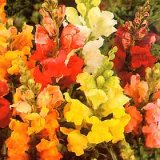 Antirrhinum nanum 'Bedding' en Mélange Photo