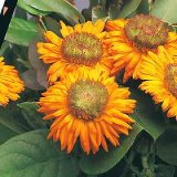 Calendula officinalis Greenheart Orange Photo
