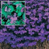Lobelia erinus compacta 'Crystal Palace' Photo