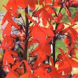 Lobelia cardinalis 'Queen Victoria' Photo