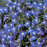 Lobelia erinus compacta 'Mrs Clibran Improved' Photo