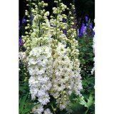 Delphinium 'Green Twist' Photo