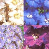 Delphinium 'New Century' Photo