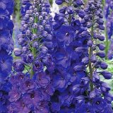 Delphinium 'Pagan Purples' Photo