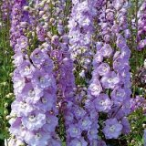 Delphinium x cultorum 'Centurion Rose' Photo
