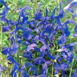 Salvia patens Photo