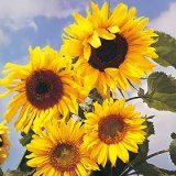 Helianthus annuus 'Russian Giant' Photo