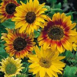 Helianthus annuus 'Autumn Time' Photo