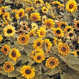Helianthus annuus 'Music Box' Photo