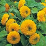Helianthus annuus 'Teddy Bear' Photo