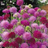 Knautia macedonia 'Melton Pastels' Photo