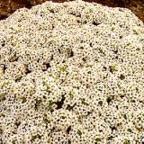 Alyssum maritima procumbens 'Avalanche' Photo