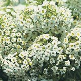 Alyssum maritima procumbens 'Sweet White' Photo