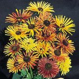 Rudbeckia hirta 'Chim Chiminee' Photo