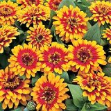 Zinnia elegans 'Swizzle' Scarlet & Yellow Photo