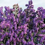 Aconitum carmichaelii Photo