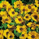 Coreopsis basalis Photo