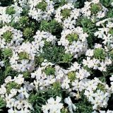 Verveine speciosa 'Snowy River' Photo
