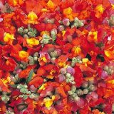 Antirrhinum nanum Kim Orange Bicolore F1 Photo